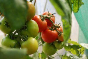 tomaten-hauben