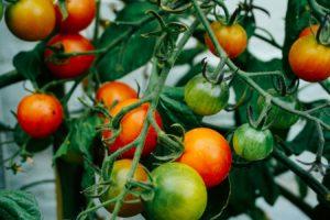 tomatenhaube