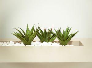 aloe Vera pflanzen in einem topf